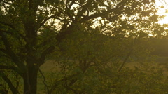 AERIAL: Flying over big tree at sunset Stock Footage