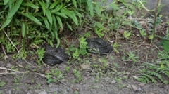 Two young Common vipers resting under plants Stock Footage