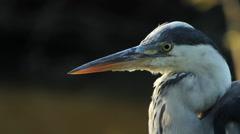 Grey Heron / Héron cendré / Ardea cinerea 01 - stock footage