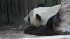 Beijing Olympic panda in sleeping HD. Stock Footage