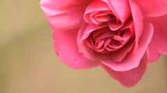 Isolated beautiful twin buds rose Stock Footage