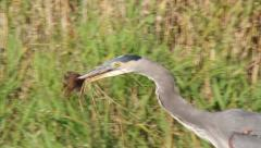 Blue Heron catching a mice Stock Footage