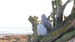 Old & Young Snowy Owl Pair Stock Footage