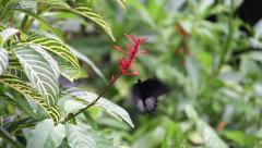 Black & fuschia Butterfly feeding on nectar Stock Footage