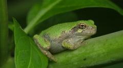Gray Treefrog (Hyla versicolor) 10 Stock Footage
