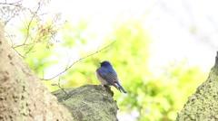 Japanese Flycatcher on a tree Stock Footage