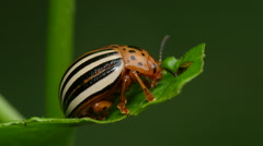 False Potato Beetle (Leptinotarsa juncta) 1 Stock Footage