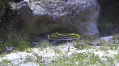 4k Black yellow striped seawater fish Koumansetta hectori close up Stock Footage