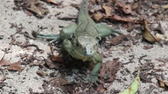 Domincian Ground Lizard walking on the beach Stock Footage