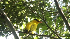 Black Naped Oriole Singning & Vocalising Stock Footage
