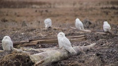 Large Number of Snowy Owls Grooming Stock Footage