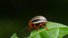 4K False Potato Beetle (Leptinotarsa juncta) 3 Stock Footage