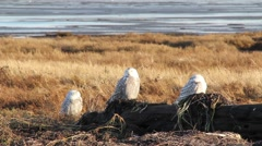 3 Snowy Owls napping in the sun Stock Footage