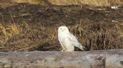 Snowy Owl taking off and flying away Stock Footage
