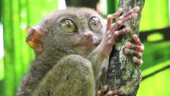Philippines Tarsier opening its eyes wide - stock footage
