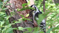 Woodpecker picking larvae from dead wood Stock Footage
