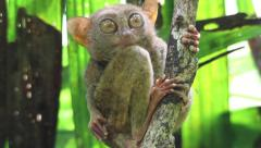 Tarsier grooming and cleaning its fur Stock Footage