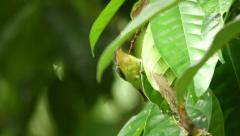 32 - ruby chSunbird frantically feeding on ants Stock Footage