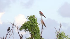 American Kestrel couple flying away Stock Footage
