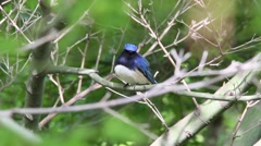 Blue-and-White Flycatcher in a tree Stock Footage