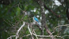 Collared Kingfisher Flying Away Stock Footage