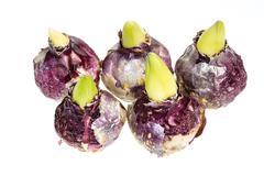 Group of hyacinth bulbs isolated on white Stock Photos