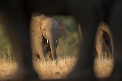 Baby elephant through others legs - stock photo