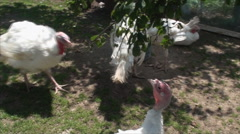 Poultry Farm, Turkeys And Chickens, Bird, Farm, Countryside, Outdoors, Pan Stock Footage