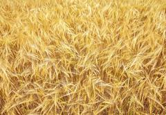 Ripening golden ears of yellow wheat field on the sunset, nature background Stock Photos