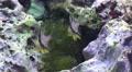 4k Pajama cardinalfishes Sphaeramia nematoptera close up in coral reef Footage