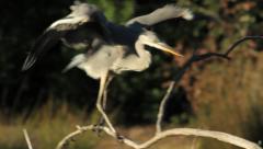 Grey Heron / Héron cendré / Ardea cinerea 11 - stock footage