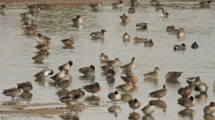 Eurasian Teal / Sarcelle d'hiver / Anas crecca 01 Stock Footage