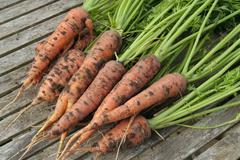 Fresh ripe carrots bunch on garden table Stock Photos