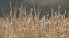 Grains growing in a field Stock Footage