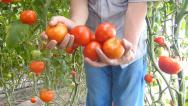 Stock Video Footage of Ripe tomato in farmer's hand after picking