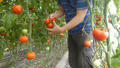 Farmer picking tomato in the greenhouse Stock Footage