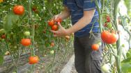 Stock Video Footage of Farmer picking tomato in the greenhouse