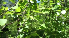 Green birch branches wind shakes. Siberia. Sayan Mountains Stock Footage