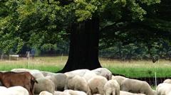 Flock of Sheep Goat Mutton grazing at Pasture grassland English Garden Munich Stock Footage