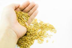 hand releasing paddy rice on white background - stock photo
