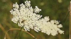 cow parsnip - stock footage