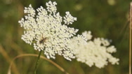 Stock Video Footage of cow parsnip