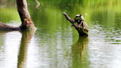Common map turtle Stock Footage