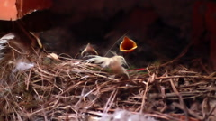 Baby Birds In Nest Chicks Spring Birth New Life Robin Stock Footage