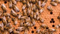 Close-up swarm of working bees convert nectar into honey Stock Footage