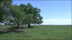 Live oak trees stand in a cluster on an otherwise open grassy plain Stock Footage