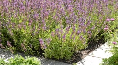Salvia in the garden, zoom  in Stock Footage