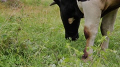 Cow bull eating the grass on the meadow Stock Footage