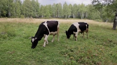 cow eating the grass on the meadow - stock footage