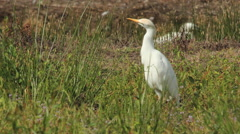 Western Cattle Egret / Héron garde-boeufs / Bubulcus ibis 01 Stock Footage